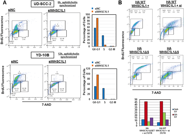 WHSC1L1 knockdown significantly suppresses transition of the cell division cycle from G1 to S phase in SCCHN cells.