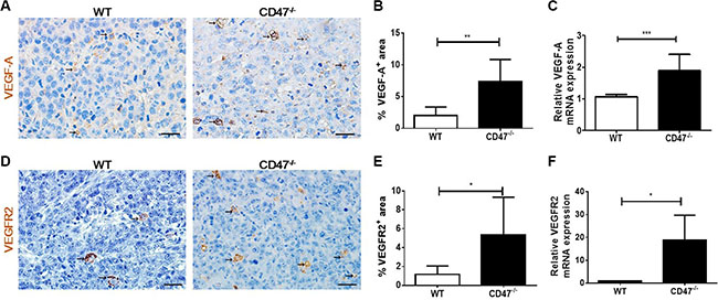 Increased VEGF and VEGFR2 expression in tumors from CD47-deficient mice.