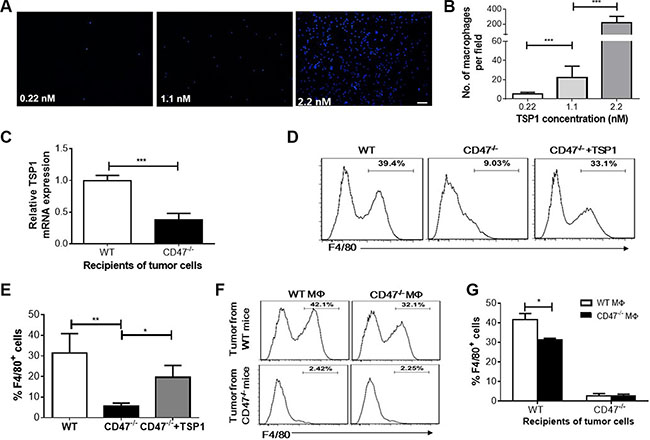 Macrophage recruitment by TSP1 and tumor cells in vitro.