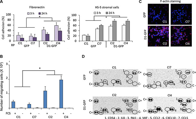 Cyclin D1 controls cell adhesion, cell migration, and cytokine production.