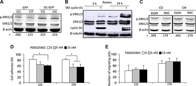 A cyclin D1/ROS/ERK1/2 axis regulates cell adhesion.