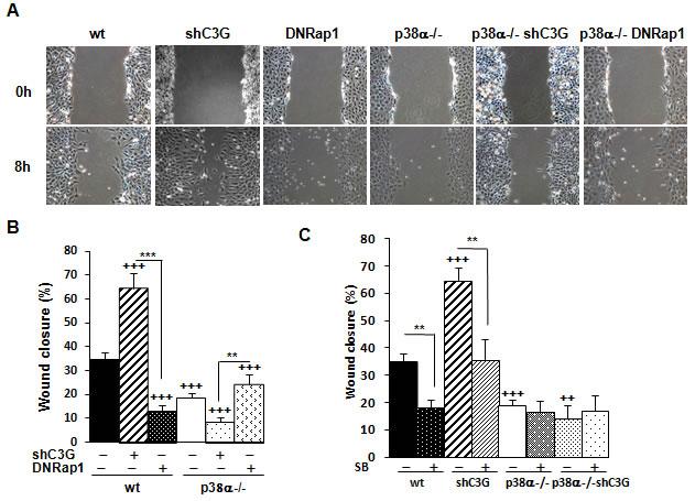 C3G knock-down enhances migration of MEFs through a mechanism dependent on p38α.