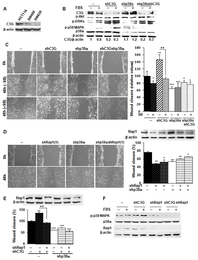 C3G knock-down enhances migration of HCT116 cells by increasing Rap1-mediated p38α activation.