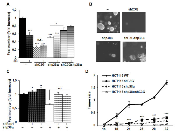 C3G and p38α MAPK promote tumor growth of HCT116 cells, while Rap1 does not.
