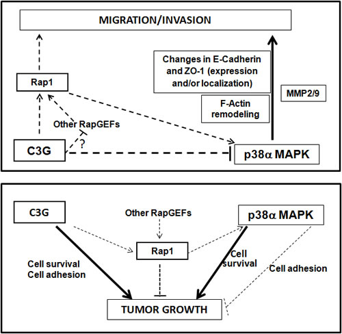 Scheme showing the interplay between C3G, p38α and Rap1 to regulate cell migration, invasion and tumor growth of HCT116 cells.
