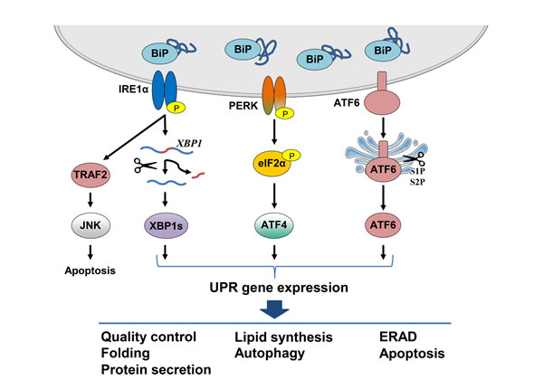 Schematic representation of the canonical UPR signaling pathways.
