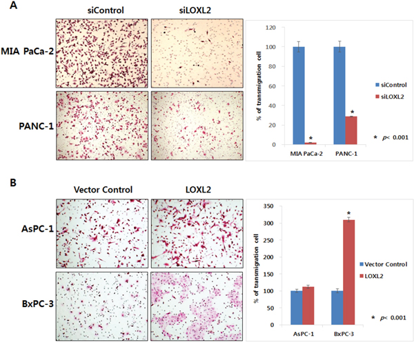 Effect of LOXL2 on pancreatic cancer cell invasion based on transwell invasion assay.