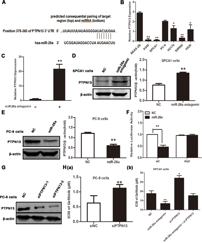 PTPN13 is targeted by miR-26a in NSCLC cells.
