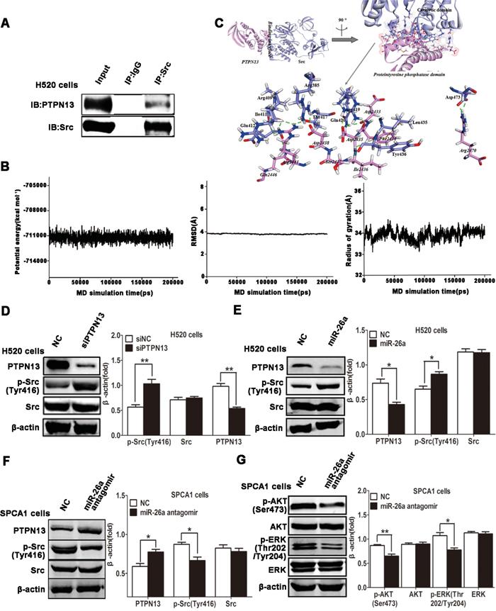 miR-26a/PTPN13 regulates EGFR/Src signaling.