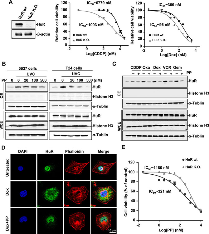 Identification of pyrvinium pamoate as an effective inhibitor of HuR.