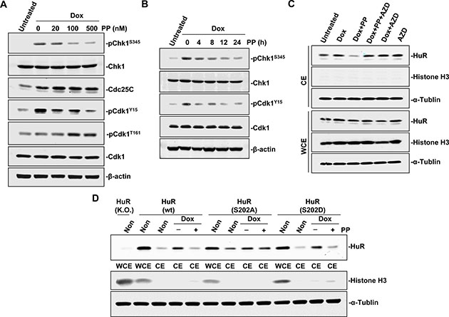 Pyrvinium pamoate interferes with the Chk1/Cdk1 pathway.