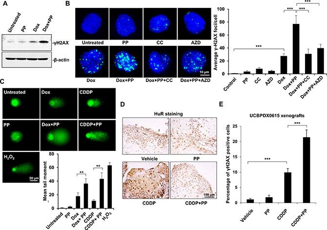 Pyrvinium pamoate enhances DNA double-strand breaks in vitro and in vivo.