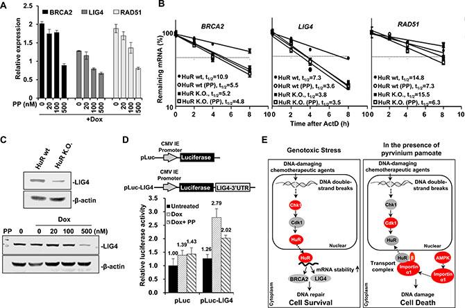 Pyrvinium pamoate suppresses HuR-mediated stabilization of DNA repair genes.