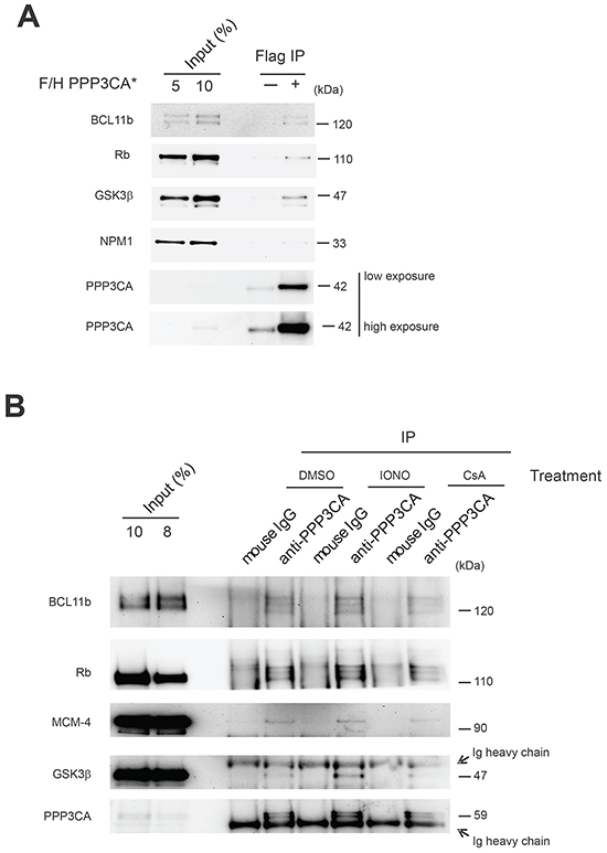 Validation of selected PPP3CA-interacting proteins in Jurkat T-ALL cells.