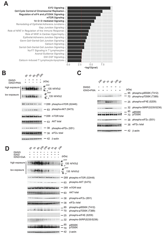 Effects of Cn activity modulation on components of eIF2 and mTOR signaling pathways found to be enriched in PPP3CA-binding proteins.