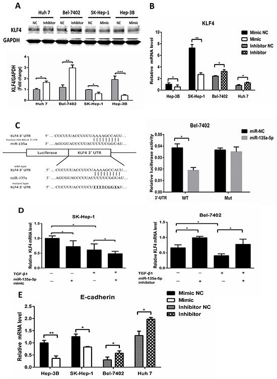 MicroR-135a-5p is critical for down-regulation of KLF4 by TGF-β1.