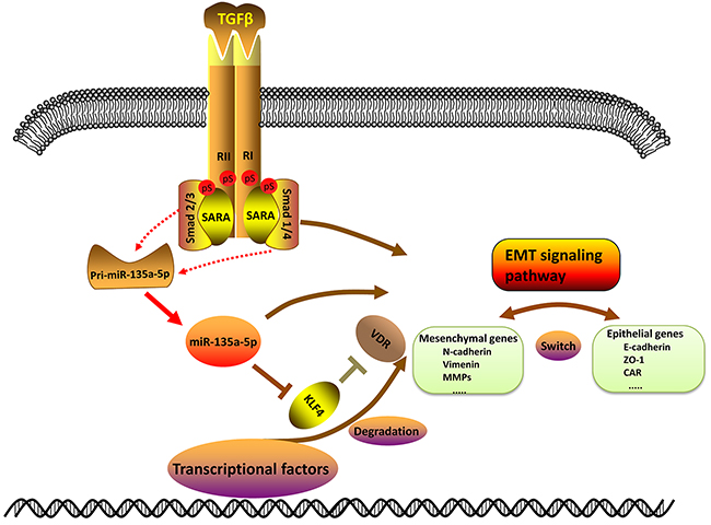 Schematic of TGF-β1 down-regulating KLF4 by activating miR-135a-5p.