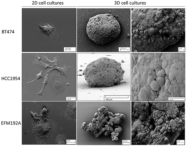 Different morphology of each cell line in 2D and 3D culture.