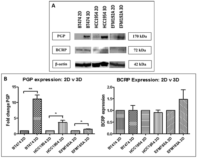 Immunoblots of drug transporter expression in 3D compared to 2D cultures.