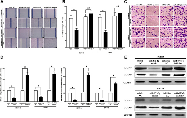 Ectopic expression of miR-875-5p in HCT116 and SW480 cells reduces cell migration and invasion motility.