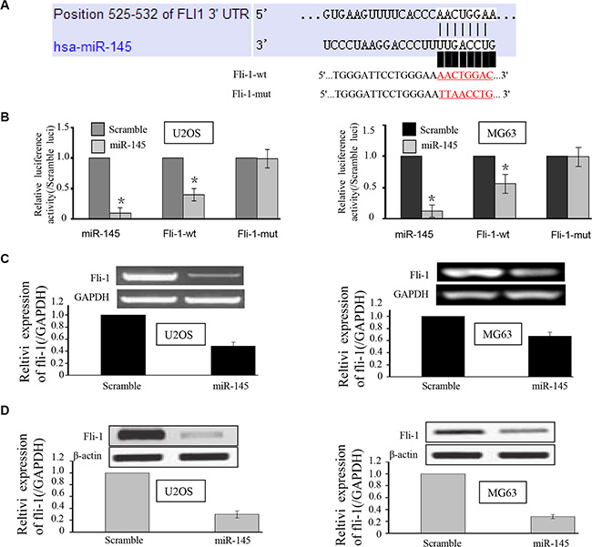 miR-145 targets the FLI-1 gene in U2OS and MG-63 cells.