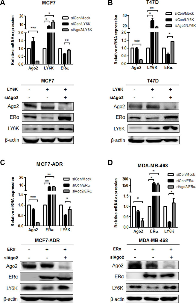 The regulation of ERα and LY6K expression in a miRNA-dependent manner.