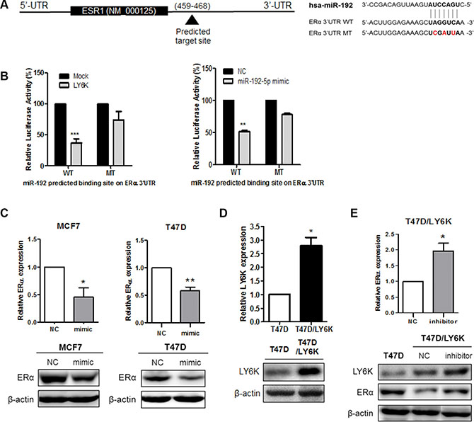 miR-192-5p directly binds ERα 3′UTR and regulates its expression.