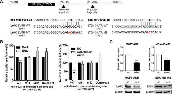LY6K is a direct target of miR-500a-3p and down regulates its expression.