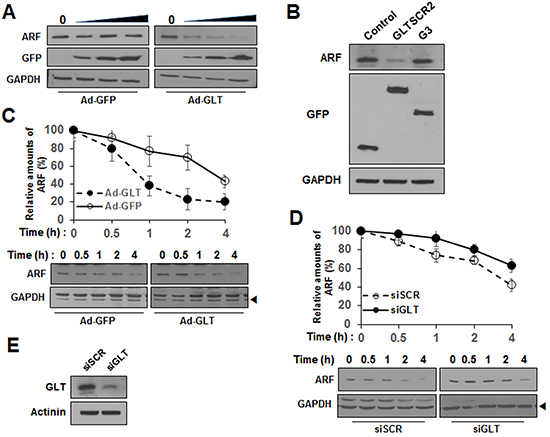 GLTSCR2 enhanced the degradation of ARF.