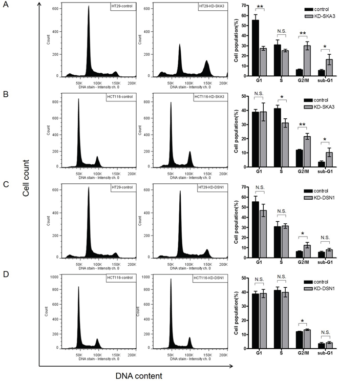 Knockdown of SKA3 or DSN1 inhibits cell cycle progression.