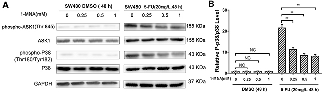 1-MNA attenuates activation of p38 MAPK pathway in SW480 cells after treatment with 5-FU.
