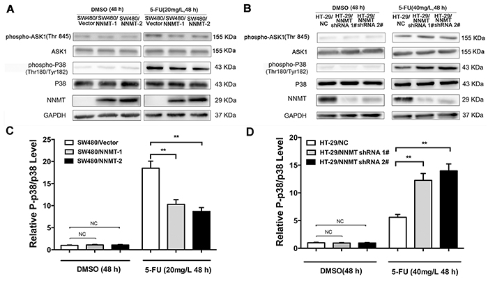 NNMT inhibits the activation of ASK1-p38 MAPK pathway in 5-FU-induced CRC cells.