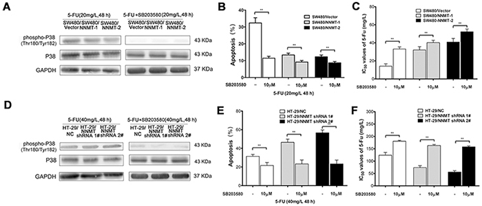 The inhibition of p38 MAPK pathway affects NNMT-related 5-FU resistance in SW480 and HT-29 cells.