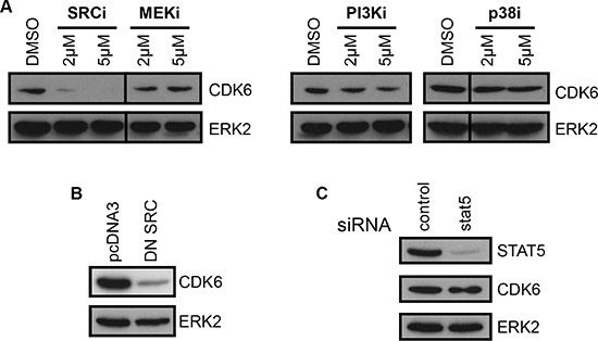 CDK6 expression is dependent on SFKs.