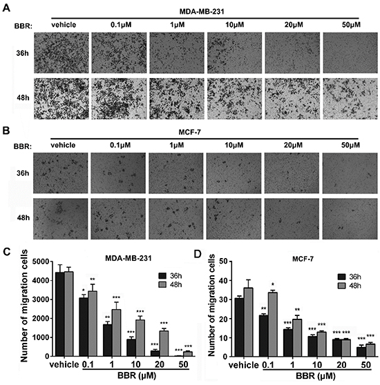 Berberine inhibits the migration of MDA-MB-231 and MCF-7 cells.