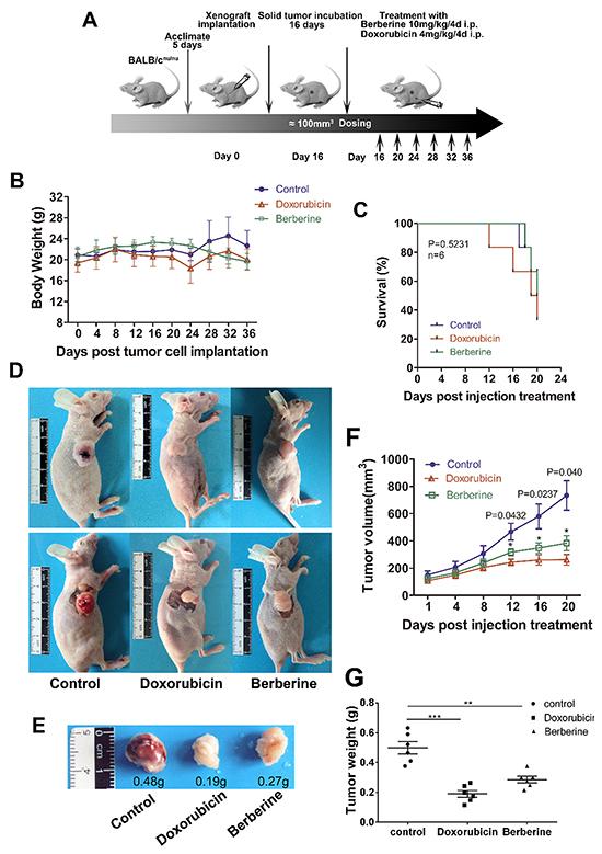 Berberine inhibits tumor growth in the MDA-MB-231 xenograft model