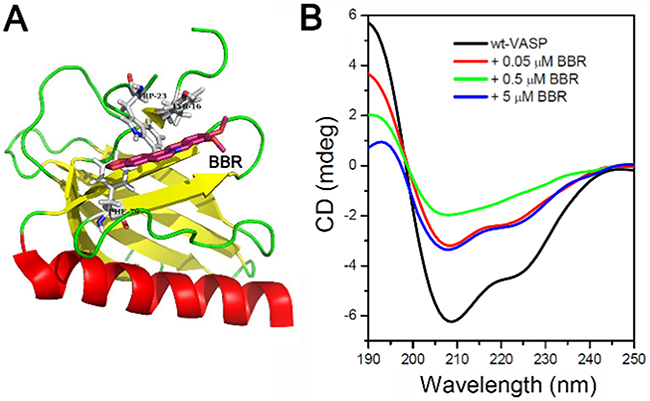 Berberine binds to the EVH1 domain of VASP and affects the far-UV CD spectra of VASP protein.
