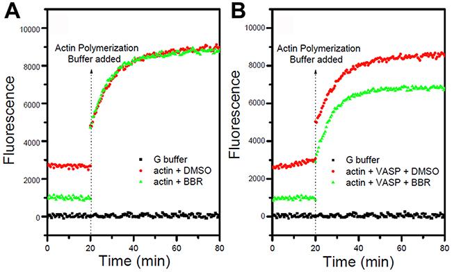 Berberine inhibits actin polymerization in the presence of VASP.