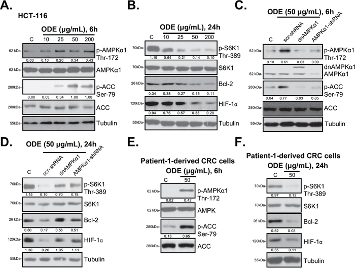ODE activates AMPK signaling in CRC cells.