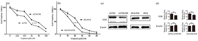 Correlation of vimentin expressions with cisplatin resistance in ovarian cancer cells.