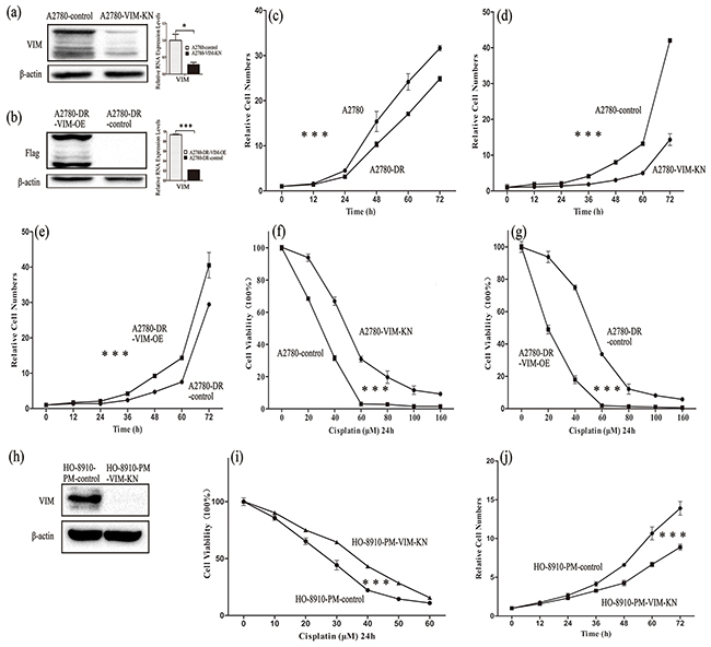 Characterization of A2780-VIM-KN, A2780-DR-VIM-OE, HO-8910-VIM-KN cells.