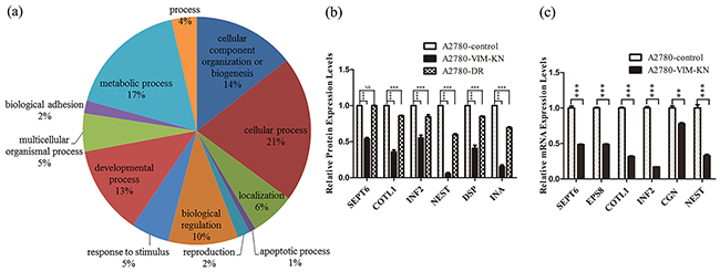 Analysis of differentially expressed proteins between A2780-VIM-KN and control cells.