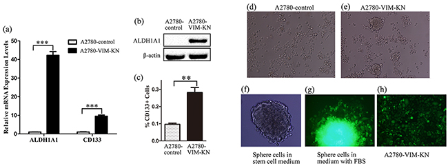 Vimentin knockdown induced a cancer stem cell-like phenotype in A2780 cells.