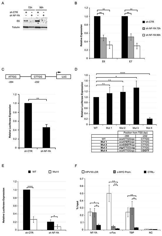 NF-Y transcriptionally controls the expression of HPV18-URR driven genes.