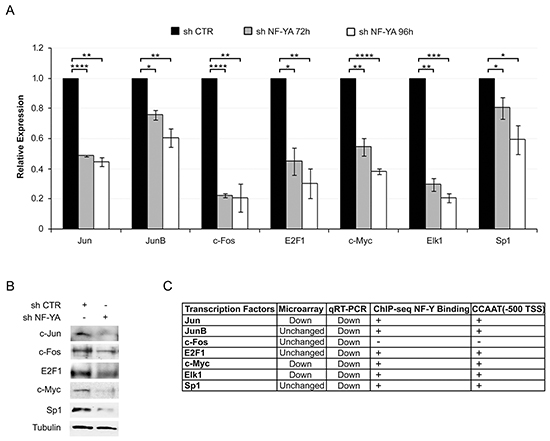 NF-YA inactivation affects the expression of key transcription factors regulating HPV18-URR activity.
