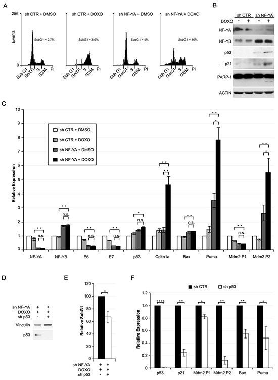 NF-YA loss sensitizes Hela cells to Doxorubicin-induced p53-dependent cell death.