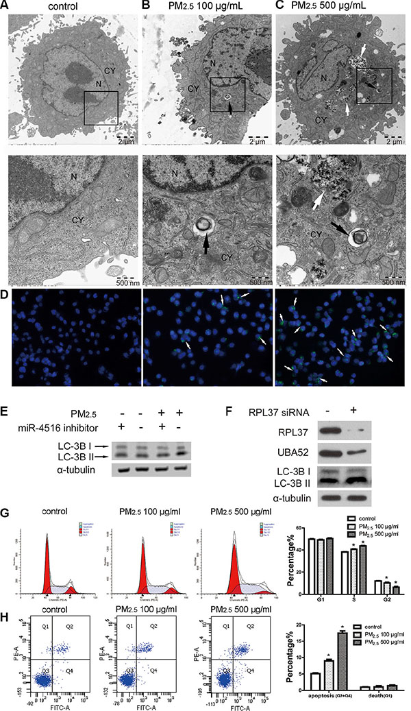 PM2.5 treatment induced autophagy in A549 cells as regulated by miR-4516 and its target gene.