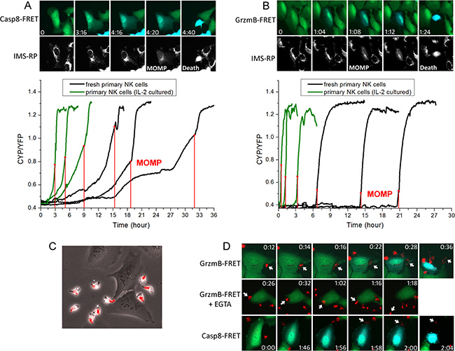 The FasL and lytic granule cytotoxic pathways exhibited distinct activation kinetics and involved different types of NK-target cell conjugation.