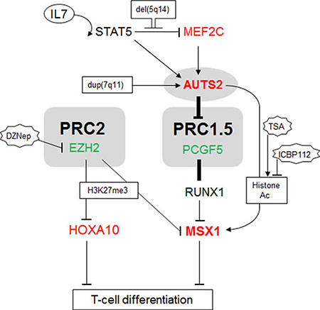 Gene regulatory network comprising AUTS2 and MSX1.