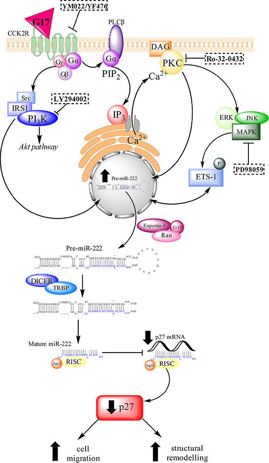 A schematic diagram of the signalling pathways that are activated by gastrin-CCK2R binding.